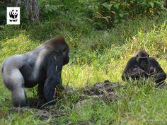 Een gorillatweeling geboren in de Centraal Afrikaanse Republiek! Dit is heel zeldzaam want laaglandgorilla's krijgen meestal maar één jong.