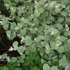 Licorice Plant. LOVE this plant, does great in containers and LOVES the sun and heat. It smells like Licorice!!