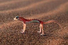 Web-footed gecko standing tall  :o)