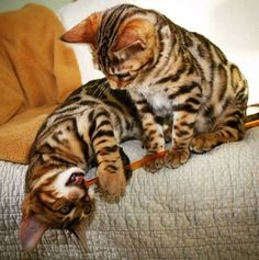 These Bengal brothers spend their days lounging around the house, bathing together, entertaining each other...