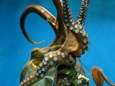 Octopus and his jar. Underwater Creatures, Ocean Creatures, Underwater World, Kraken Octopus, Octopus Art, Beautiful Creatures, Animals Beautiful, Water Animals, Creature Feature