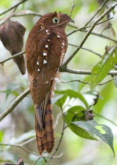 The Rufous Potoo (Nyctibius bracteatus) is a species of bird in the Nyctibiidae family. It is found in Ecuador, (the northeast, about 25% of the country), and Peru in the largest population, and the other large disjunct population 1600 km southwest at the Peru and Bolivia border, (about 1/30th of Peru). Other far smaller locales, occur in Brazil, Colombia, French Guiana, and Guyana.