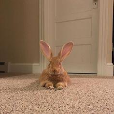 Happy Friday!! #rabbitsofinstagram #bunny #conejo #lapin #rabbit #flemishgiant #tgif