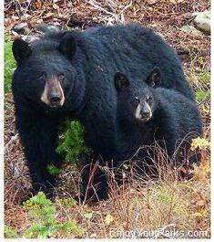 Black Bears, Grand Teton National Park - photo from EnjoyYourParks Bear Photos, Bear Pictures, Animal Pictures, Asian Black Bear, Black Bear Cub, Bear Cubs, Grizzly Bears, Tiger Cubs, Tiger Tiger