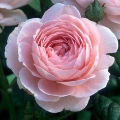 We are very excited to be offering David Austin Roses again in our product line for Spring. Description from englishcountrygardensusa.com. I searched for this on bing.com/images