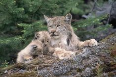 Canadian Lynx Family. Northern Rockies Photographic Print by W. Perry Conway at AllPosters.com #BigCatFamily