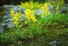 Descripción :     Es una  planta  anual  herbácea  de gran diferencia de altura, desde 5 a 120 cm, con  tallo  erecto y cuadrado...
