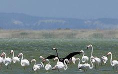 Rare black flamingo spotted in Cyprus by Supertrooper http://focusingonwildlife.com/news/rare-black-flamingo-spotted-in-cyprus/