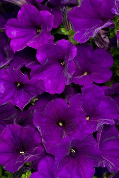 This is the #1 best selling Supertunia--Supertunia Royal Velvet. And, yes, the petals truly do look like velvet, and their jewel toned color is amazing when paired with pastel toned varieties. http://emfl.us/LzHd     #Supertunia  #ProvenWinners