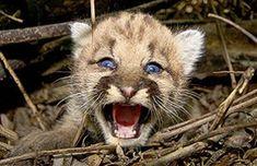 Crías de puma se salvaron milagrosamente de morir atrapadas por una máquina para cosechar | Argentina Pumas, Panther, Animals, Combine Harvester, Baby Cows, Miraculous, Animales, Animaux, Animal