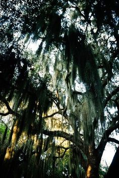 The Beaufort Inn Beaufort Weddings & Events  Gorgeous Spanish Moss in Beaufort, South Carolina
