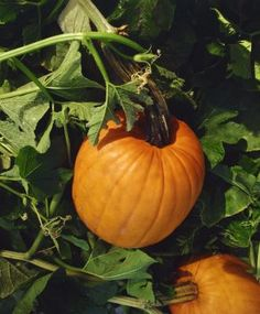 Growing Watermelon, Cantaloupe and Pumpkins