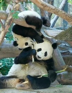 Mommy Bai Yun and son Xiao Liwu, San Diego Zoo