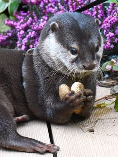 Otter is very protective of his rock