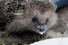 :) hedgehog with a milk mustache