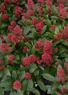 Skimmia japonica 'Rubella' - flowers red in bud opening to white. Evergreen shrub for shade