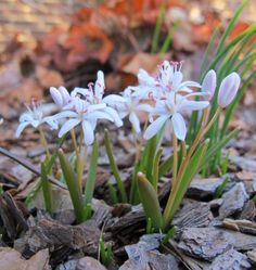 May Dreams Gardens: Spring blooms