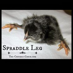 Recognizing and treating Spraddle Leg in Baby Chicks