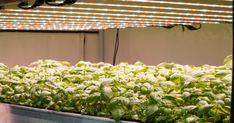 SANlight provides professional plant illumination for your vertical farm. Horticultural lights for Vertical farming system providers and cultivators. Farming System, Vertical Farming, Led Grow Lights, Herbs, Modern, Plants, Light Fixture, Trendy Tree, Herb