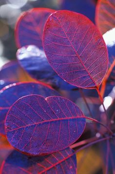 Cotinus (smoke bush) - lovely colour from spring - autumn