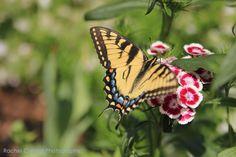 Butterfly at Duke Gardens   Rachel C Ward Photography rachelcwardphotography@gmail.com