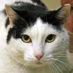 Meet Brooke in Petfinder's Fit FurKeeps Gallery. Could this Domestic Short Hair cat be your new best friend?