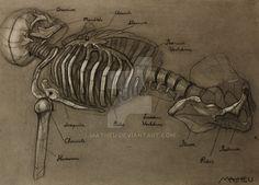 Skeleton Study by Matheu.deviantart.com on @DeviantArt