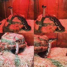 Gavin ❤️ ball python