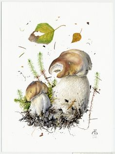 http://www.pelcor.com/mushrooms/PagesOriginals/Boletus edulis VI Or.html