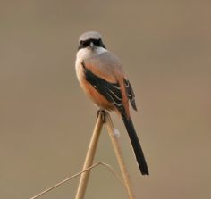 Long-tailed Shrike (Lanius schach- erythronotus race) in Delhi, India