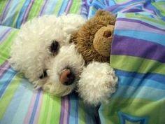Puppy snuggling teddy bear