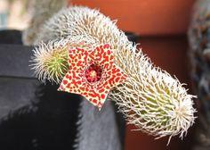 Stapelianthus pilosus