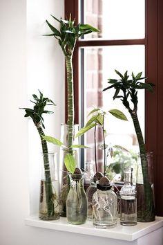 アボカドを食べた後は*種を水栽培して観葉植物として楽しもう♪
