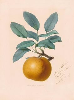 Alfred Riocreux | 1820-1912 | Pear | The Morgan Library & Museum