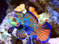 The Mandarin Fish - In god's aquarium, this is one of the brightest fishes. Mandarin fish is a native to Pacific ocean, this fish look spectacular in bright blue and red tones…, from Iryna Marine Aquarium, Marine Fish, Reef Aquarium, Aquarium Tropical, Tropical Fish, Saltwater Tank, Saltwater Aquarium, Freshwater Aquarium, Underwater Creatures