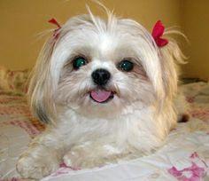 Funny-Shih-Tzu-Cut-Puppies.jpg (400×347)