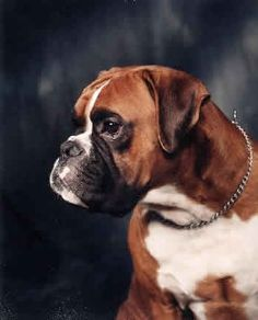 Boxer - To learn more about training this versatile breed of dog (click here) http://dunway.us/kindle/html/boxer.html