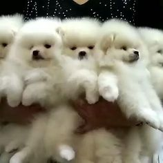 Pomeranian puppies for sale. Get pics and price on