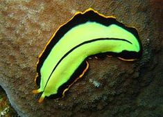 ciri ciri invertebrata platyhelminthes)