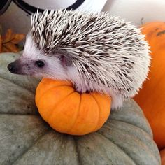9. He has the perfect halloween costume this year | 12 Reasons Why This Hedgehog Deserves Your Affection