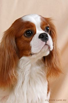 Cavalier King Charles Spaniel Dogs