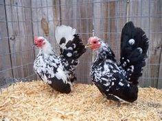 Pretty Speckled Serama Hens   Eggs & Chickens   Pinterest