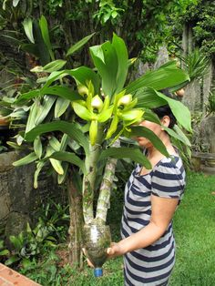 look at the size of that plant and those blooms Unusual Flowers, Beautiful Flowers Garden, Unusual Plants, Rare Flowers, Exotic Plants, Cool Plants, Orchid Flower Arrangements, Orchid Planters, Orchids Garden