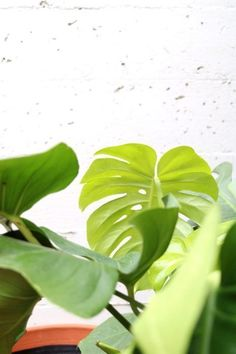 Solutions To Show That Pest Command Products And Services Are Useful For That Individuals Pretty Plants, Cool Places And Friends - An Update From Clever Bloom Big Indoor Plants, Cool Plants, Plants Are Friends, Big Leaves, Monstera Deliciosa, Herbs Indoors, Interior Plants, Interior Doors, Plant Care