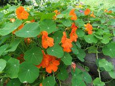 Blomkarse Planters, Stuffed Peppers, Vegetables, Food, Veggies, Vegetable Recipes, Meals, Plant, Window Boxes
