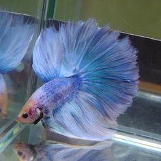 neon colored betta fish - Google Search