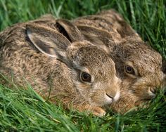 Young wild rabbits