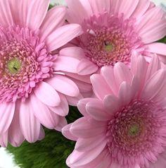 Sommer Gruß - rosa Gerbera