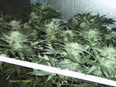 Kick Ass CFL Grow Lights! Bubba Kush Week 4 Early Flowering Stages with the best CFL Grow Lights on earth!  http://CFL-GrowLight.com