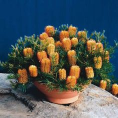 My banksia birthday candle isn't flowering why?